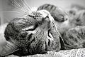 Rufus my cat (5401764061).jpg