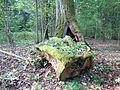 Rumšiškių miško ąžuolas 2.JPG