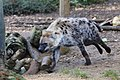 Running spotted hyena (11065789016).jpg