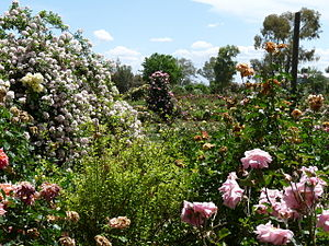 Rose garden - Ruston's Roses in South Australia