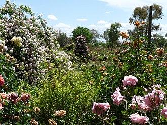 Rose garden - Ruston's Roses in South Australia
