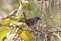 Rusty Sparrow (Aimophila rufescens) 1 (7223100562).jpg