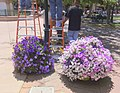 SANTA FE NEW MEXICO USA FLOWER BASKETS - panoramio.jpg