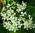 SDC11298 - Begonia odorata (Schiefblatt).JPG