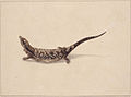 SLNSW 797152 f 12 The Scincoid or Skincformed Lizard.jpg