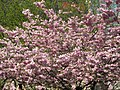 Saint Petersburg. Chinese Garden. Sakura tree2021 18.jpg