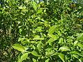 Salix caprea 027.jpg