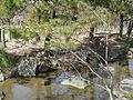 Salix gracilistyla2.jpg
