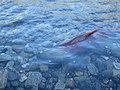 Salmon run at Adams River 2010 (5074655896).jpg