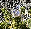 Salvia mohavensis 2.jpg