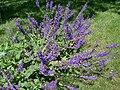 Salvia pratensis 3.JPG