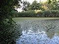 Salwinia natns w naturze.JPG