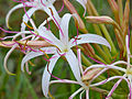 Sand Lily (Crinum buphanoides) close-up (12615037004).jpg