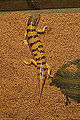 Sandfish skink 3.JPG