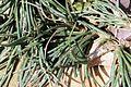 Sansevieria gracilis pmZ.jpg