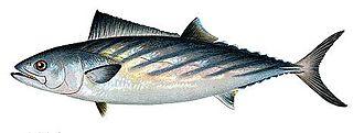 Atlantic bonito - Image: Sarda sarda