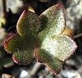 Saxifraga cernua leaf upernavik 2007-07-09 cropped.jpg