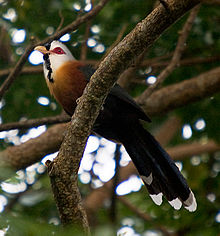 Scaled-feather-malkoha.jpg