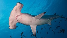 Scalloped Hammerhead Shark Sphyrna Lewini (226845659).jpeg