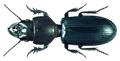 Scarites senegalensis Dejean, 1825.png