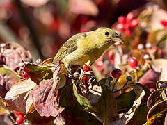 Scarlet tanager in GWC (25344).jpg