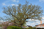 Schleswig-Holstein, Heist, Naturdenkmal 32-02 NIK 3093.JPG