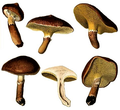 Schulzer - Boletinus cavipes.png