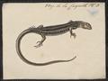 Scincus noctua - 1700-1880 - Print - Iconographia Zoologica - Special Collections University of Amsterdam - UBA01 IZ12600057.tif