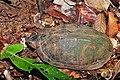 Scorpion Mud Turtle (Kinosternon scorpioides)? (9607067983).jpg