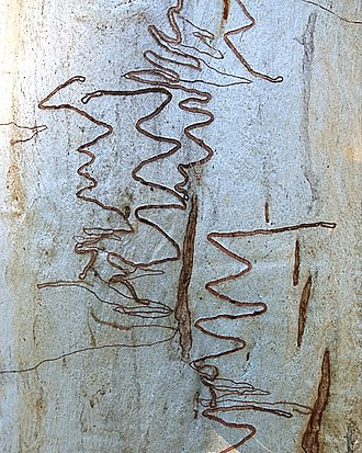Eucalyptus rossii - Eucalyptus rossii tree trunk.