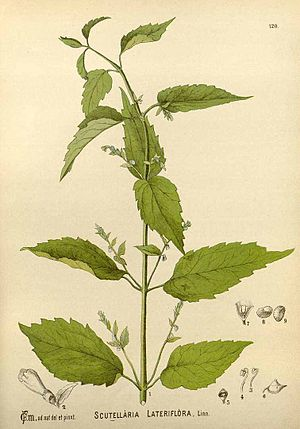Scutellaria lateriflora - Illustration by Charles Frederick Millspaugh