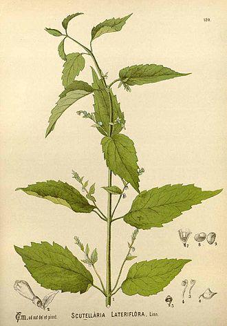 Scutellaria lateriflora - Illustration by Charles Frederick Millspaugh