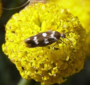 Scythrididae - Adult Scythris scopolella