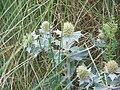 Sea Holly (Eryngium maritimum) - geograph.org.uk - 565632.jpg