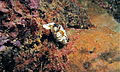 Sea Slug (Glossodoris atromarginata) (8457305025).jpg