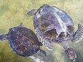 Sea Turtoil.jpg