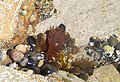 Sea anemone - geograph.org.uk - 899206.jpg