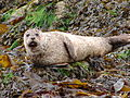 Seal, Isle of Skye (2792634170).jpg