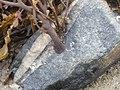 Seaweed holdfast.jpg