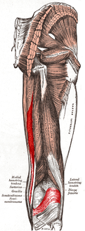 Semimembranosus muscle.PNG