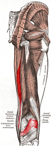 musculus semimembranosus (červeně)