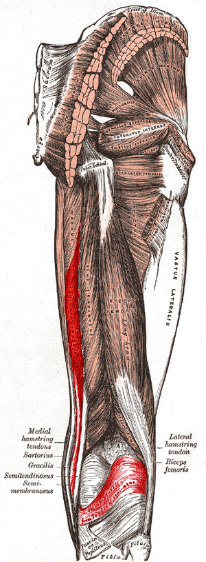 Semimembranosus muscle - Muscles of the gluteal and posterior femoral regions (semimembranosus labeled at bottom left)