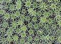 Sempervivum tectorum, Jardín Botánico de Múnich, Alemania, 2013-01-27, DD 01.JPG
