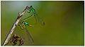 Senegal Golden Dartlet (Ischnura senegalensis) by Dharani Prakash.jpg