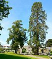 Sequoiadendron giganteum at Buckfast Abbey - geograph.org.uk - 1159747.jpg