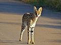 Serval (Leptailurus serval) (14031084562).jpg
