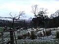 Sheep at Ardgowan - geograph.org.uk - 714297.jpg