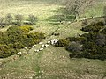 Sheep by the Jed Water - geograph.org.uk - 743443.jpg