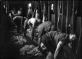 Sheep shearers at work, using electric shears ATLIB 327277.png