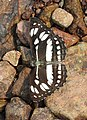 Short-banded Sailer Phaedyma columella UP by Dr. Raju Kasambe DSCN4078 (4).jpg